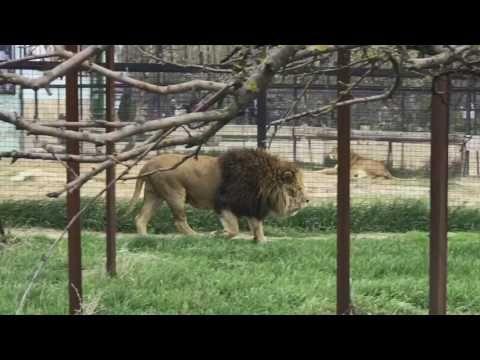Зубков выпустил львов из вольеров