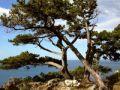 Минприроды Крыма проводит бессрочную экологическую акцию «Сохраним можжевельники Крыма»