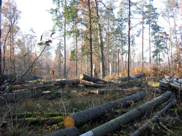 За незаконную рубку леса – административная и уголовная ответственность