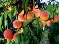В Сакском районе из сада сельхозпредприятия украли 112 килограммов персиков