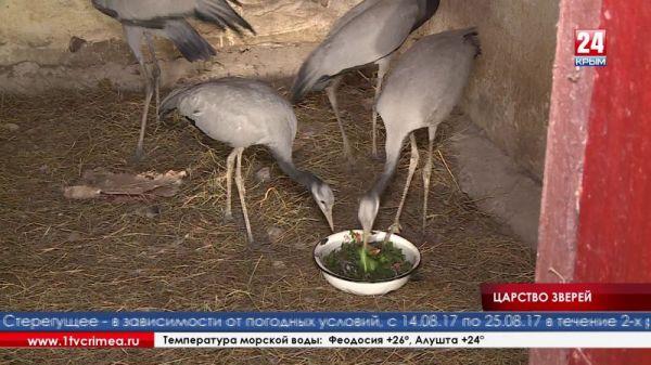 В Симферопольском зооуголке появились новые обитатели – журавли-красавки