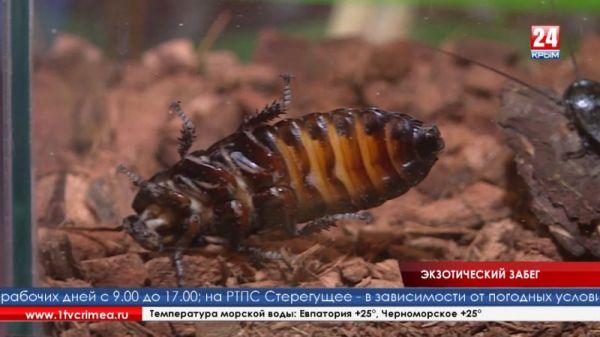 Забег в шесть лап: в Крыму впервые провели тараканьи бега