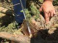 В Ялте вырубили 17 деревьев краснокнижного можжевельника