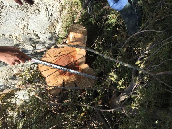 Минприроды Крыма по сигналу общественности оперативно провели рейдовый осмотр мест варварской вырубки можжевельника в Ялте