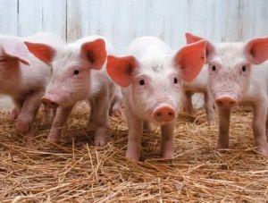 Крымчане получили 40 млн рублей за погибших свиней