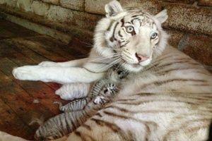 Тигрюле из «Сказки» не хватает молока для детеныша