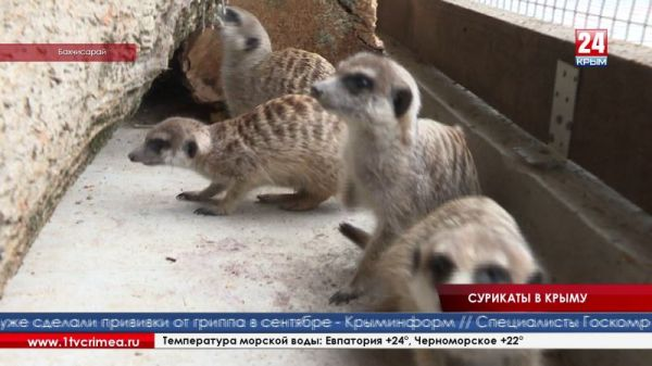 В коллекции крымских зоопарков впервые появились сурикаты