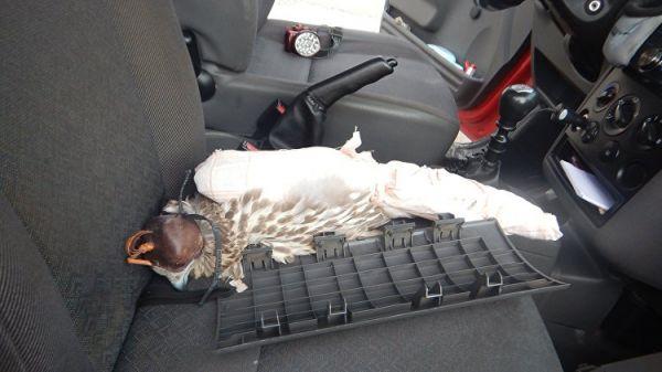 Таможенники Крыма не дали вывезти на Украину краснокнижного сокола