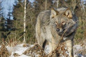 С волками в Крыму будут бороться по-американски