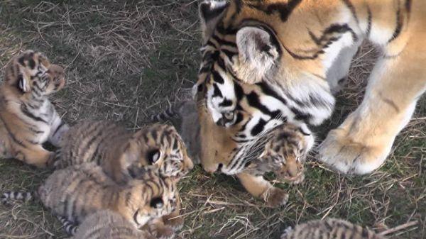 Вкрымском сафари-парке «Тайган» родились шесть амурских тигрят