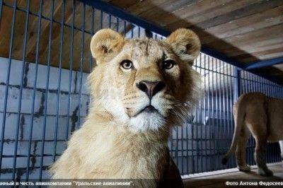 Владивосток купил 4 львов в Крыму