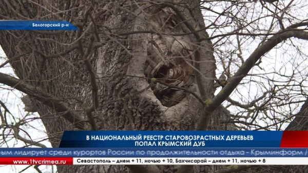 В национальный реестр старовозрастных деревьев попал крымский дуб
