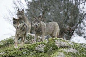Отстрелы волков в Крыму не снижают их популяцию