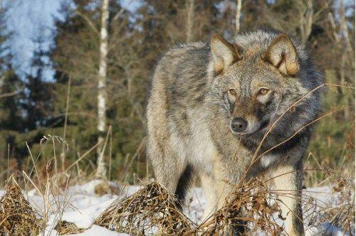 Количество волков в Крыму уже превысило три сотни