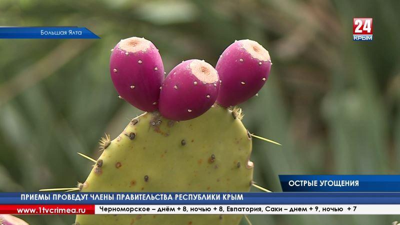 Мода на экзотику: крымские кулинары готовят смузи, компоты и вина из плодов кактусов