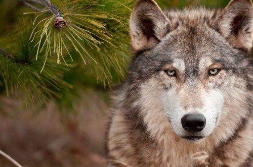 Под Алуштой ввели карантин из-за бешенного волка