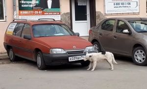В Крыму собаки отгрызают номера с машин