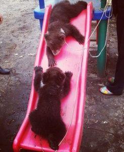 «Тайган» пополнился новыми медведями