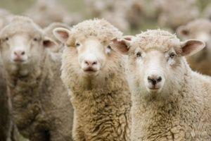 Овцеводство в Крыму никому не нужно