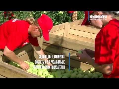 Урожай яблок в Крыму может превысить прошлогодний показатель в 2,5 раза