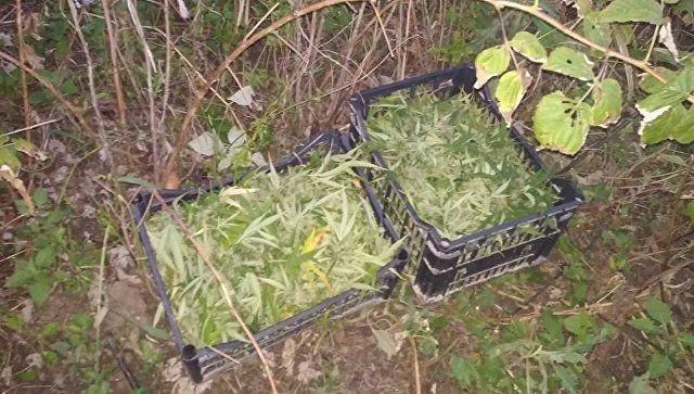 У крымчанина изъяли 2,5 кг конопли