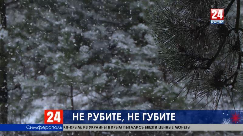В Крыму накануне Нового года ищут браконьеров леса – штраф за краснокнижную сосну 75 тысяч рублей