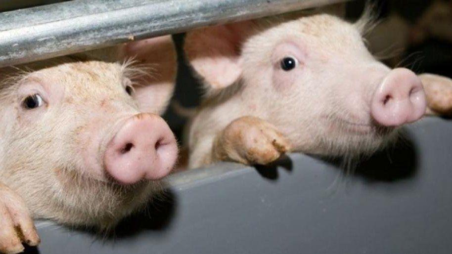 Минсельхоз Республики Крым информирует о необходимости соблюдения мер по недопущению возникновения африканской чумы свиней