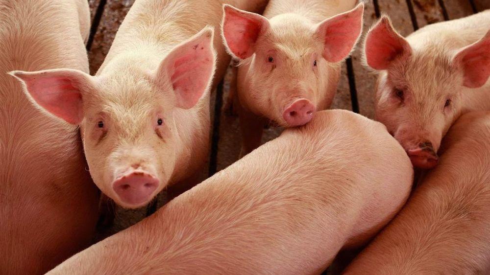 Государственные ветеринарные инспектора Джанкойского района провели проверку личных подсобных хозяйств по соблюдению ветеринарных правил по содержанию свиней