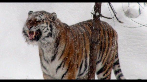 В Приморье тигр напал на человека