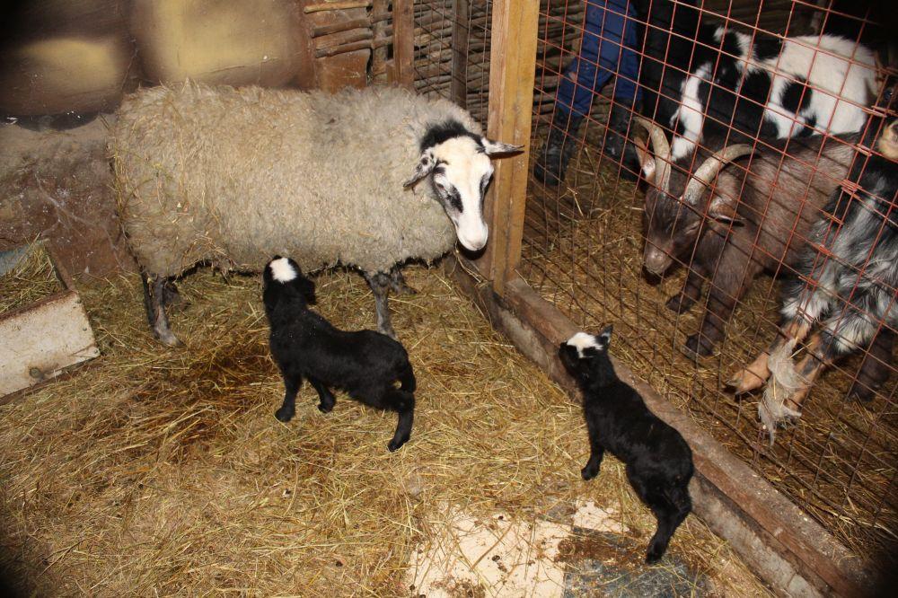 Овечка, обитающая в зоопарке Алушты, стала мамой