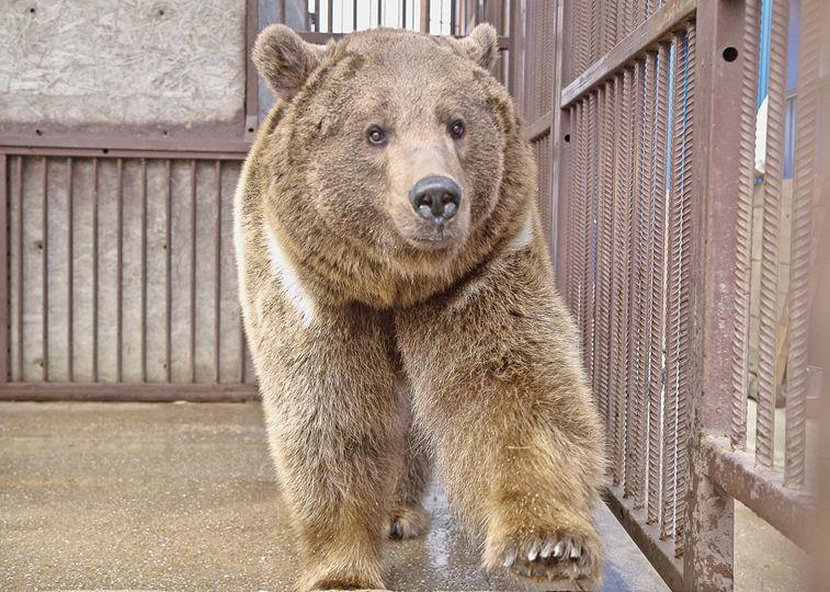 В гостях у Грозного: как живётся в Крыму медведю, подаренному Рамзаном Кадыровым