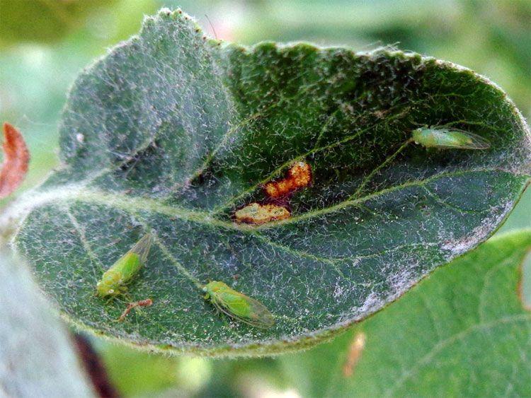 В Крыму из-за установившейся погоды в плодовых садах может появится опасны вредитель — яблонная медяница