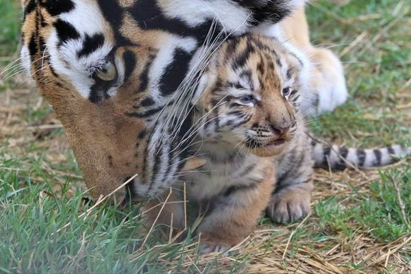 Кто ответит за смерть тигра?