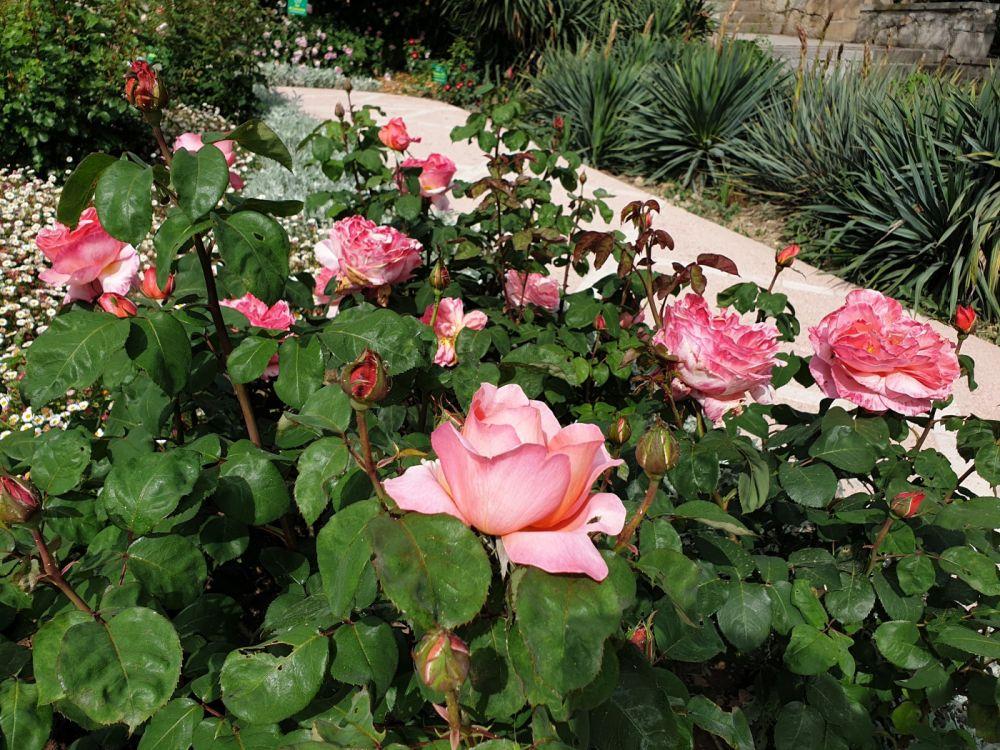 5 июня в НБС откроется выставка «Розовый вальс»