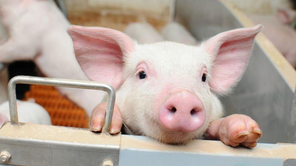 Госкомветеринарии Крыма информирует о необходимости соблюдения мер по профилактике африканской чумы свиней на территории Республики Крым