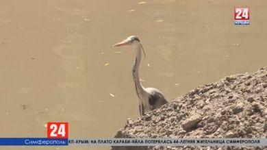 Почему цапля, которая живёт на реке Салгир, не улетает?