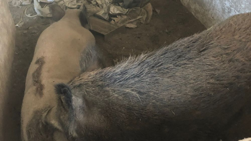 Государственными ветеринарными инспекторами Белогорского района проведены проверки в личных подсобных хозяйствах по соблюдению ветеринарных правил по содержанию свиней