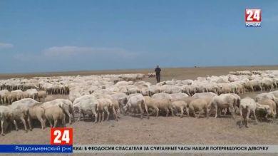 Господдержка овцеводства. Более чем в четыре раза за пять лет увеличилось поголовье овец в Крыму