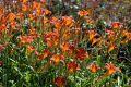 «Радуга» из лилейников появится в Никитском саду
