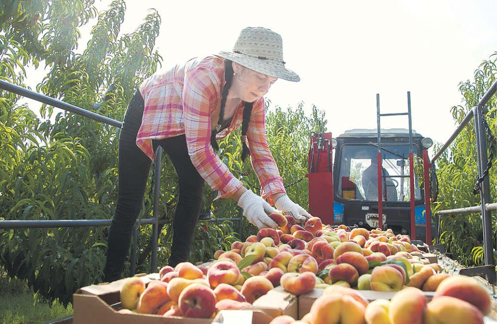 В крымских садах собирают самые вкусные персики и сливы