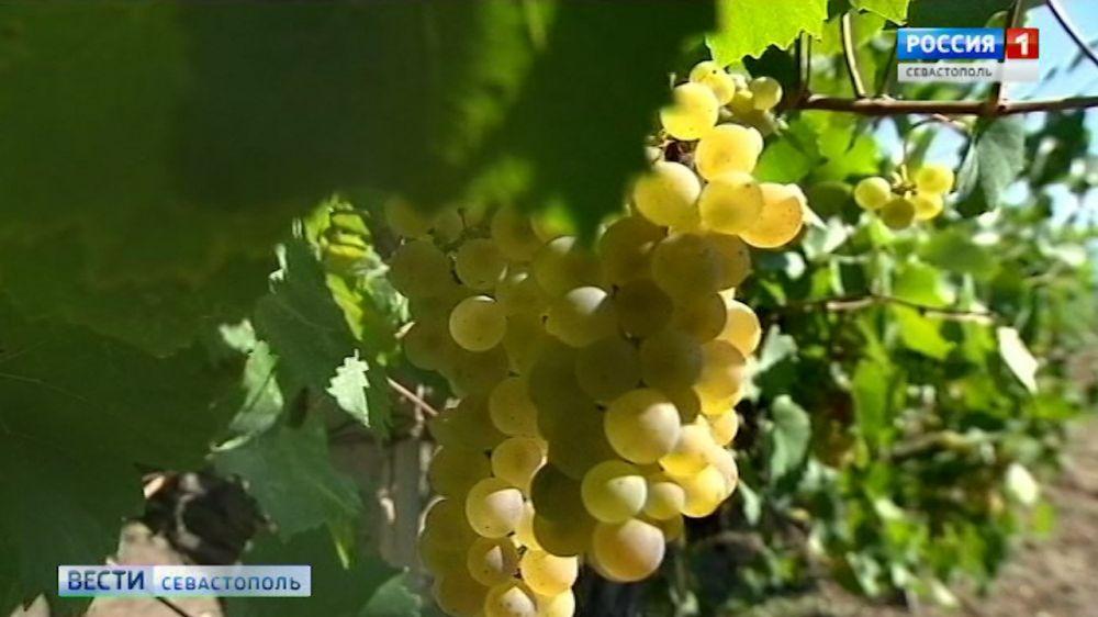 В Севастополе создан первый в России учебный полигон элитного виноделия