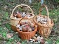 В Роспотребнадзоре напомнили как избежать отравления грибами