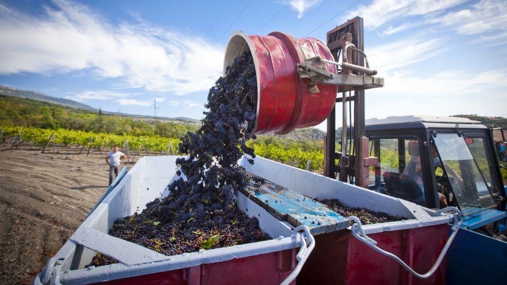 Винодельческие предприятия Крыма начали сбор винограда столовых и технических сортов – Андрей Рюмшин