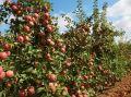 Крымские аграрии уже собрали 2,3 тыс тонн яблок
