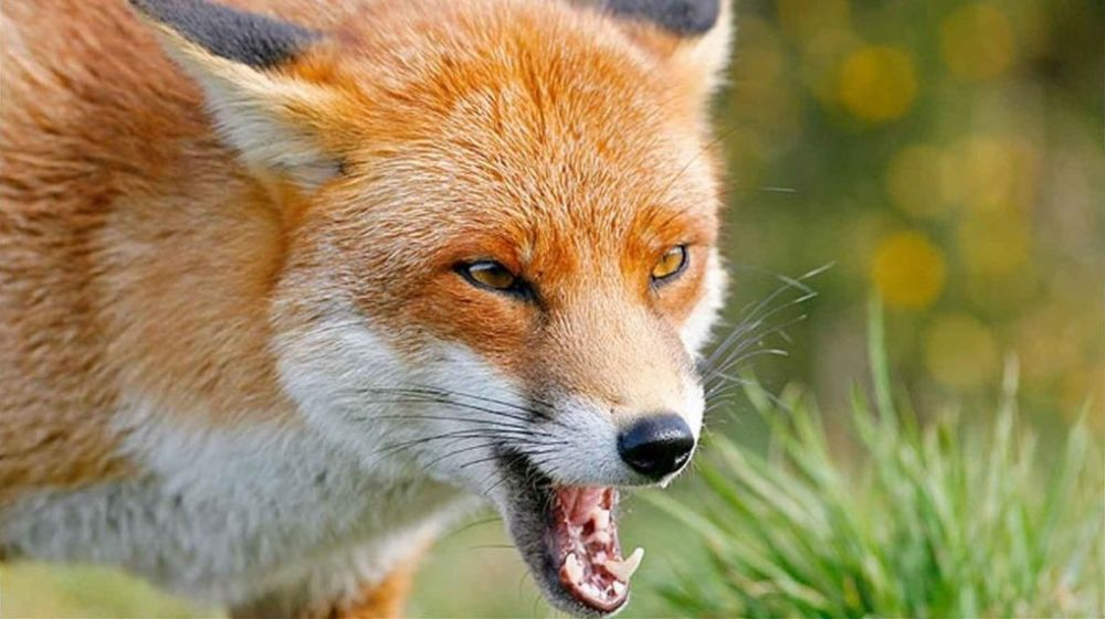 На территории Красногвардейского района Республики Крым зарегистрирован случай бешенства дикого животного