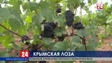 Уборка винограда началась в Крыму