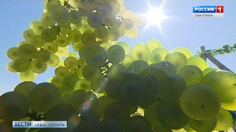 Виноделы Севастополя тестируют зарубежную технику для механизированного сбора винограда
