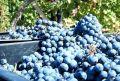 Более шести тысяч тонн винограда собрали в Крыму