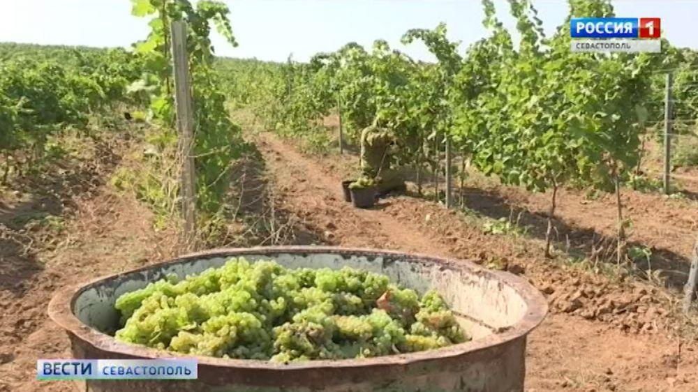 В Севастополе получили урожай с виноградников, высаженных после воссоединения с Россией