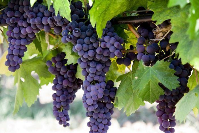 Виноделы Крыма могут получить субсидии на развитие бизнеса